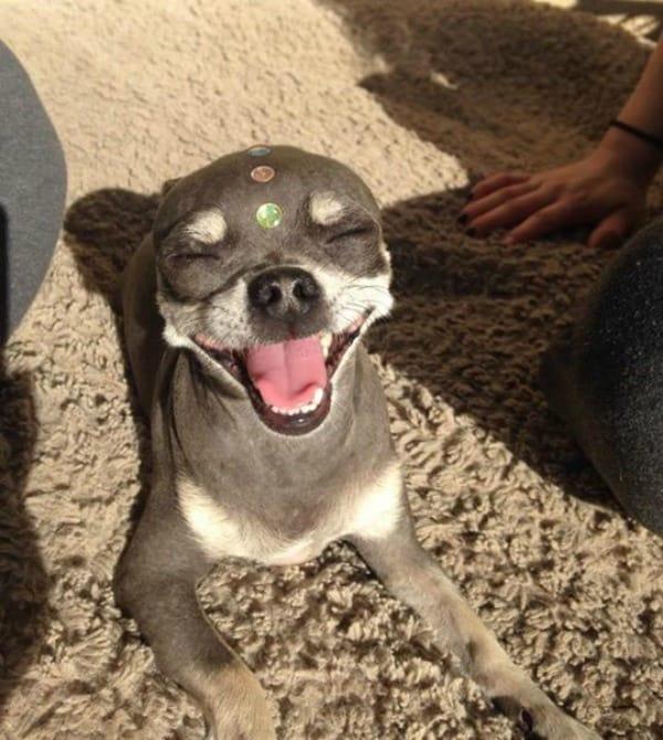 smiling Chihuahua dog