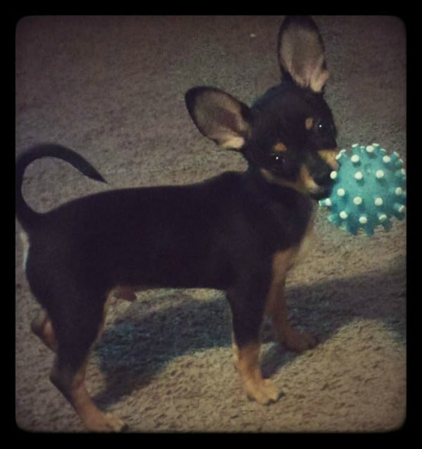 Shelley Wright‎'s Chihuahua