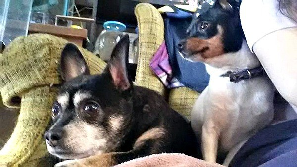 Ziggy and Paris the Chihuahuas