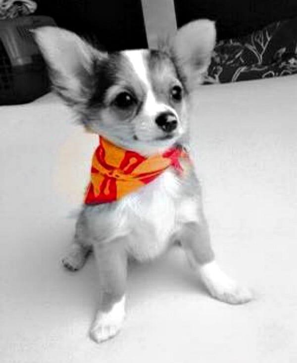 Emma the Chihuahua
