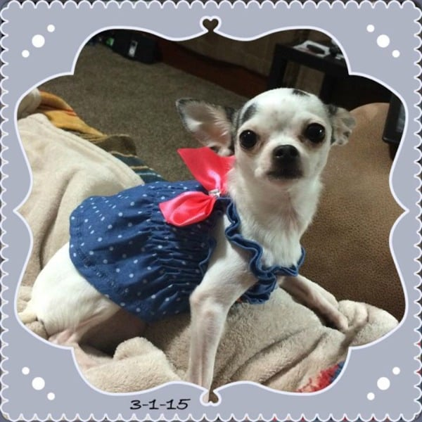 Princess the Chihuahua