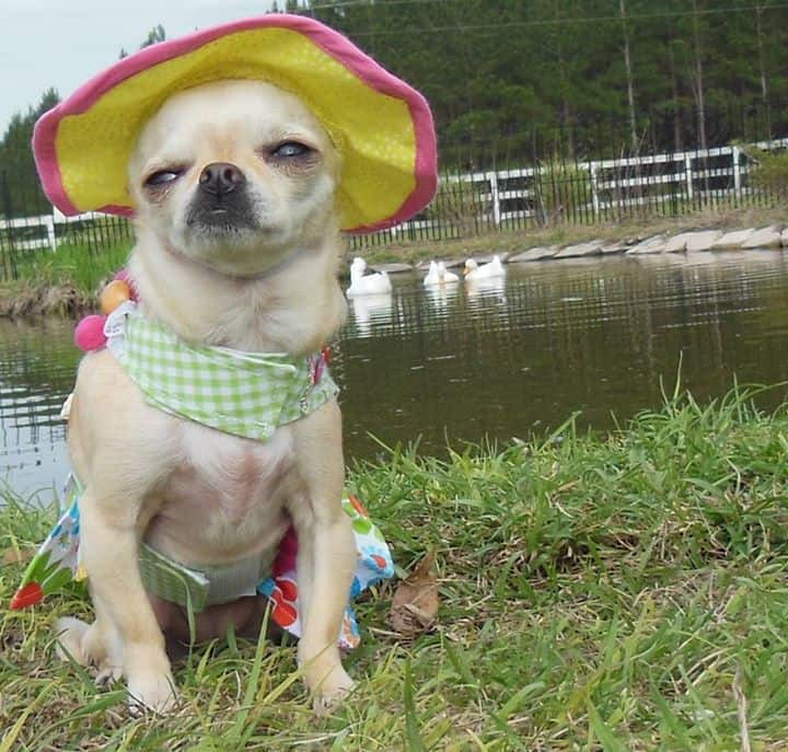 Tallulah Barkhead the Chihuahua