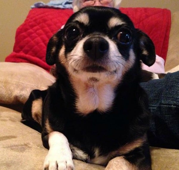 Peanut the Chihuahua