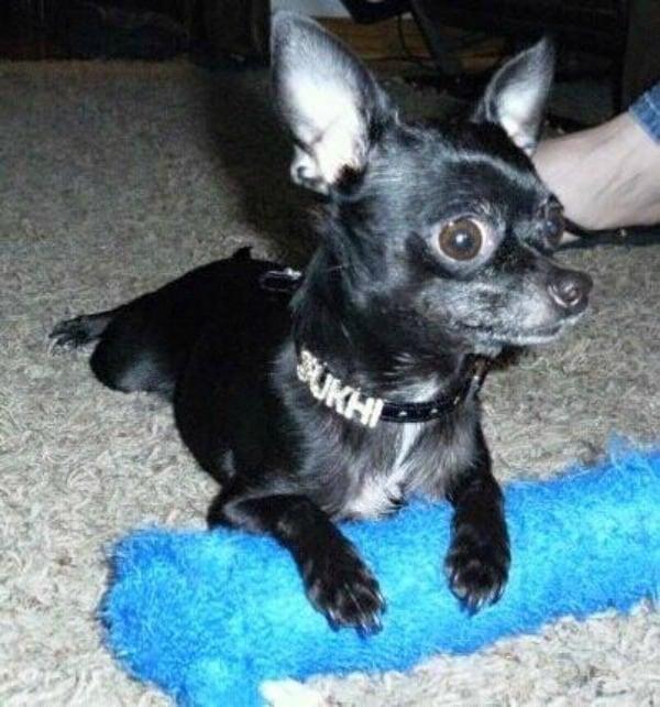 Sukhi the Chihuahua