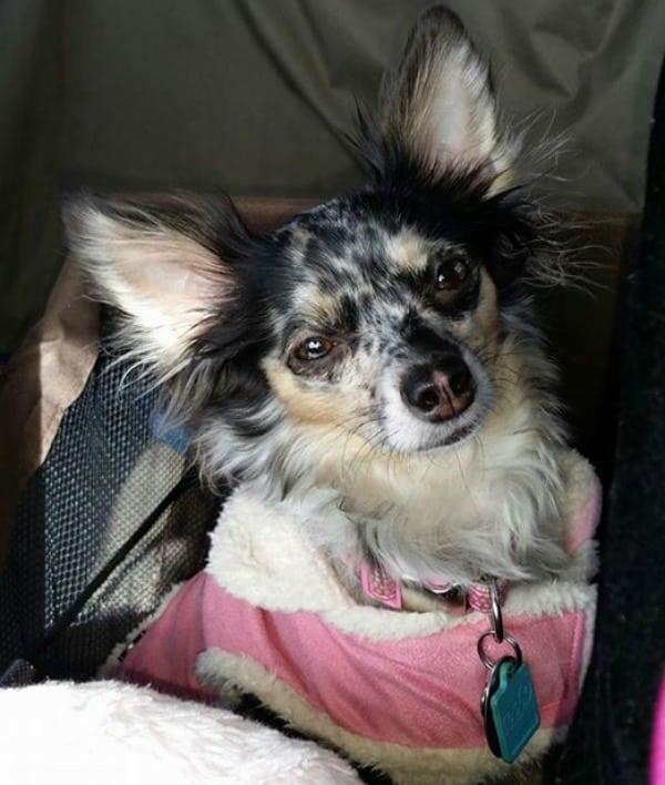 Sadie the Chihuahua
