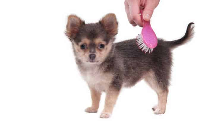 Tiny Chihuahua is combed with a pink brush