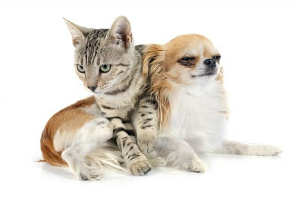 cat and Chihuahua
