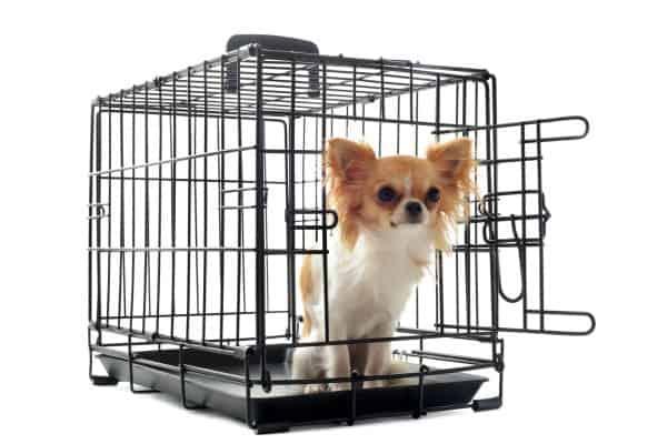 Chihuahua in crate