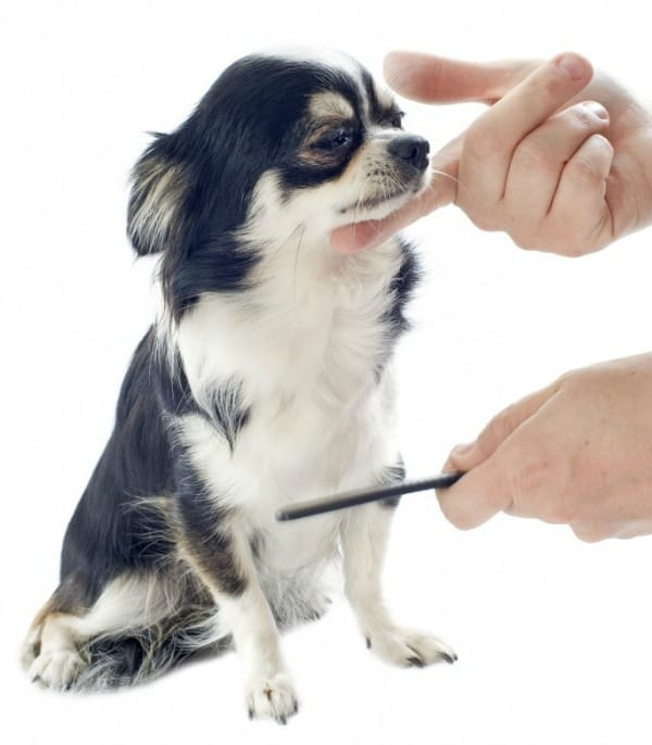 Combing a Chihuahua