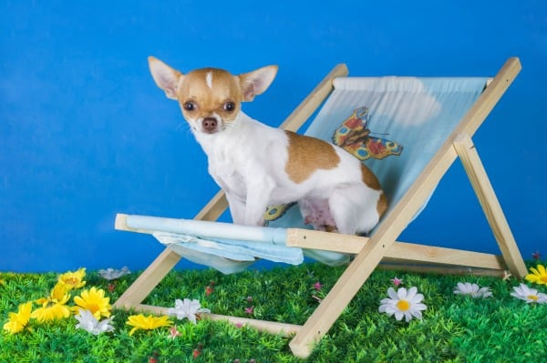 small chihuahua resting on the grass in the summer