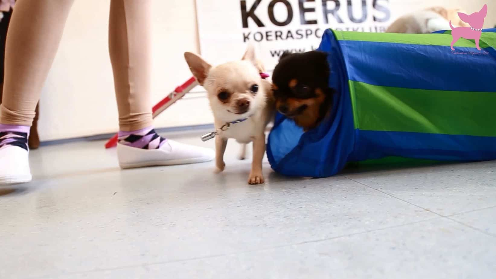 Play Time for Chihuahuas