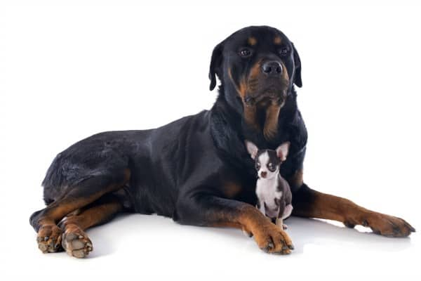 Rottie with Chihuahua