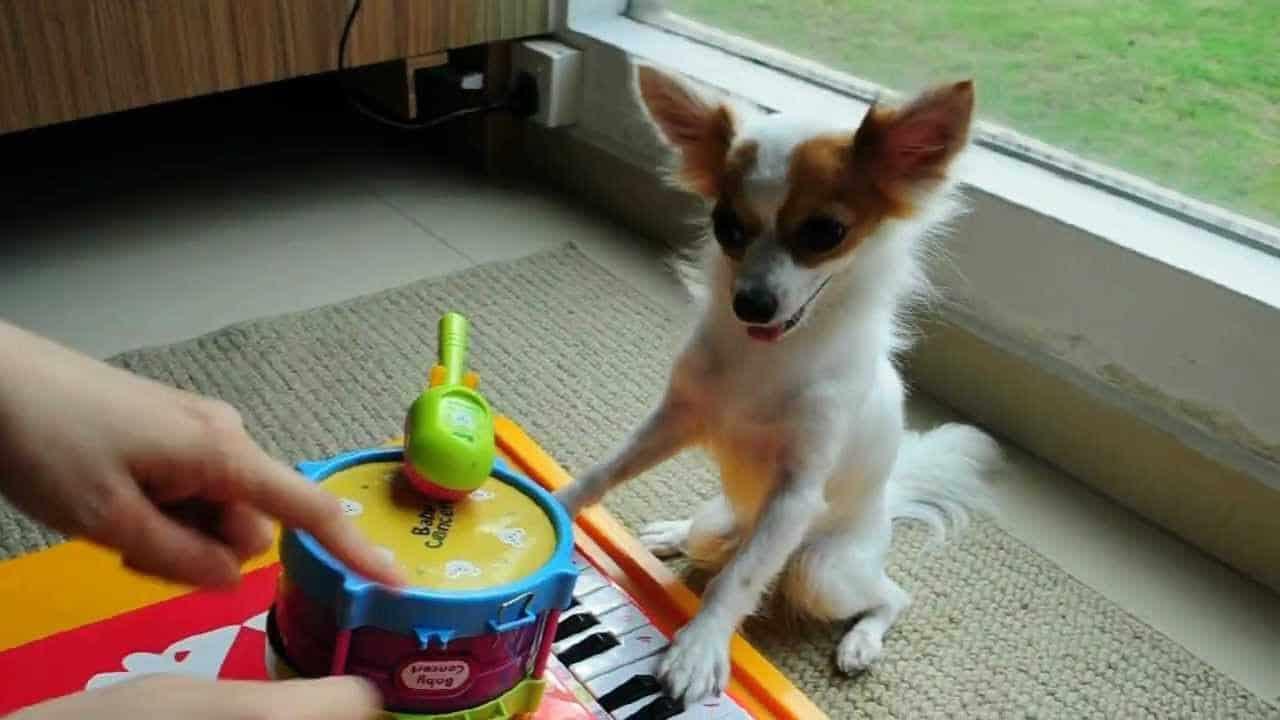 The Chihuahua Musician