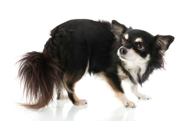 scared Chihuahua