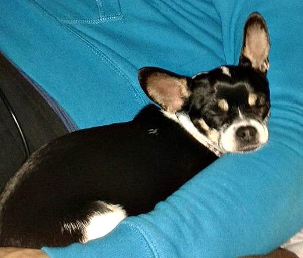 Bibi the Chihuahua