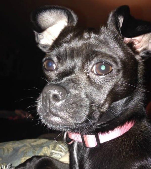 MeMe the Chihuahua