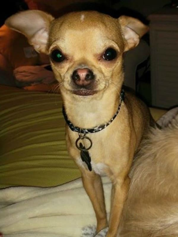 Maverick the Chihuahua