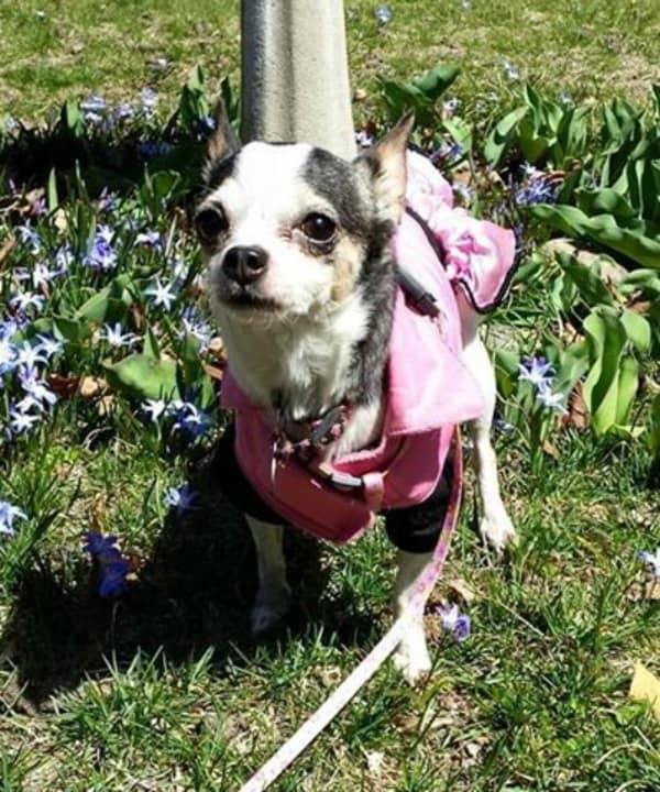 Rosie the Chihuahua