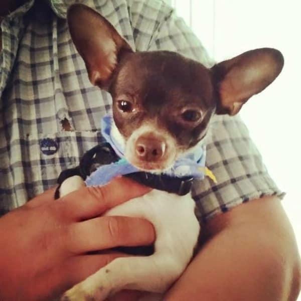 Radar the Chihuahua