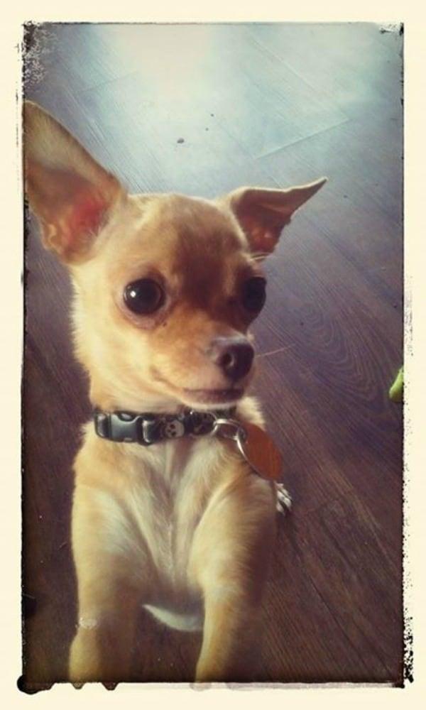 Skid the Chihuahua