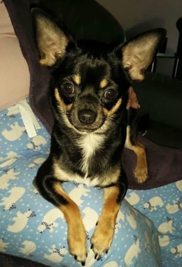 Milo the Chihuahua