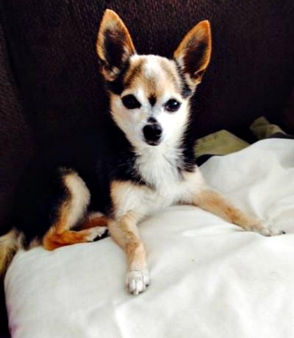 Tigger the Chihuahua
