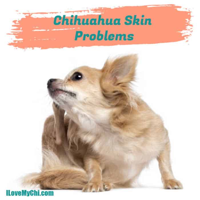 chihuahua with itchy skin scratching