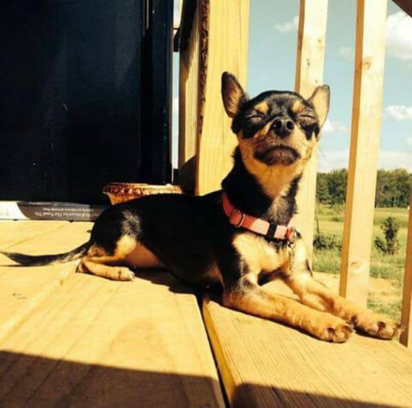 Loko the Chihuahua