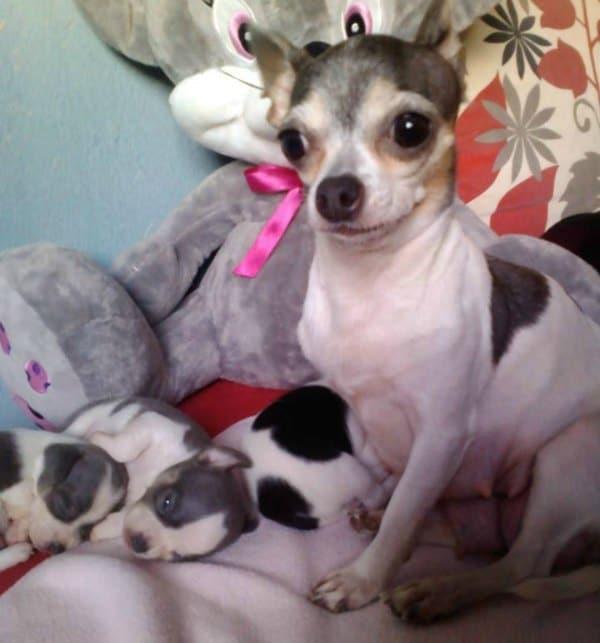 Djidji the Chihuahua and her puppies