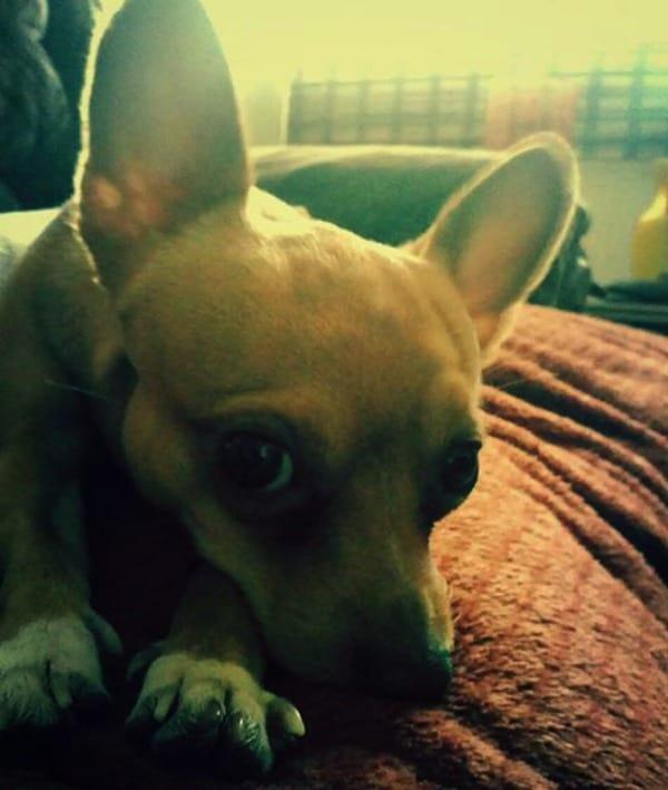 Tobi the Chihuahua