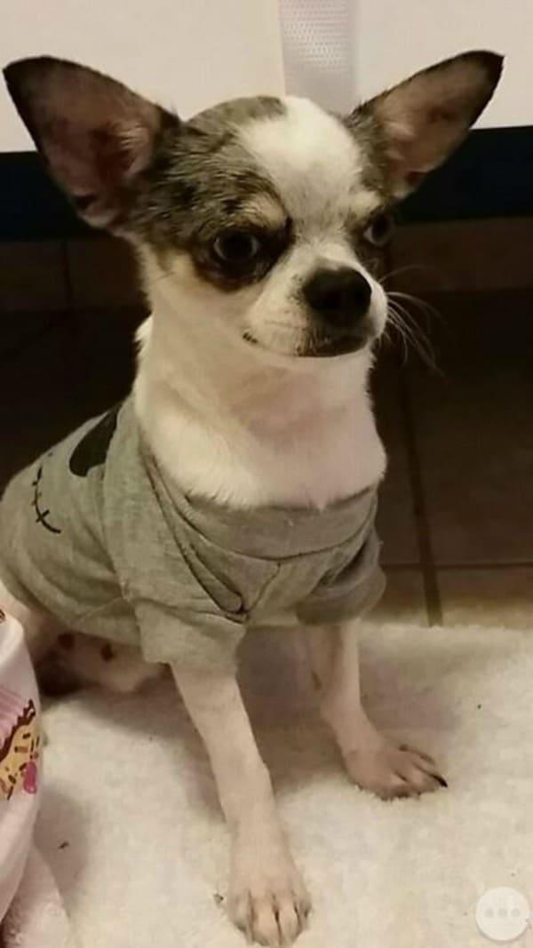 Maximiliano the Chihuahua