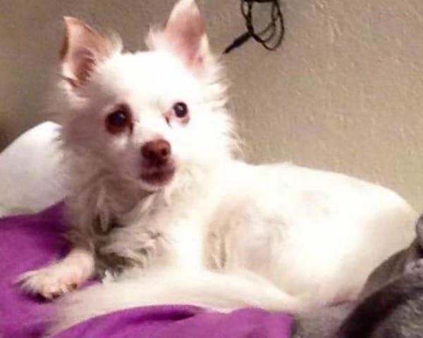 Spunky the Chihuahua