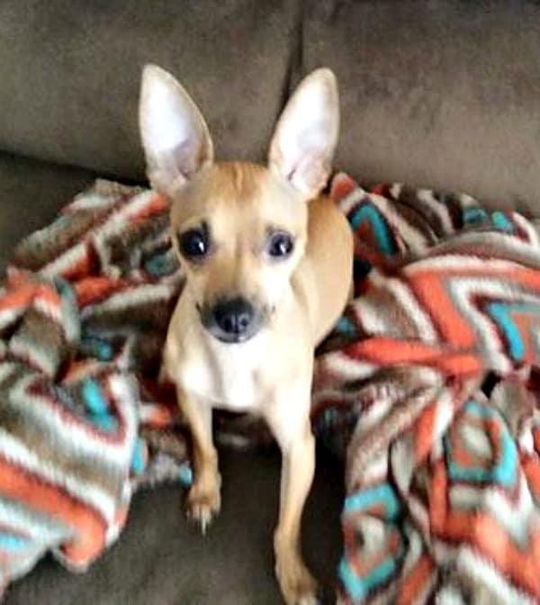 Hercules the Chihuahua