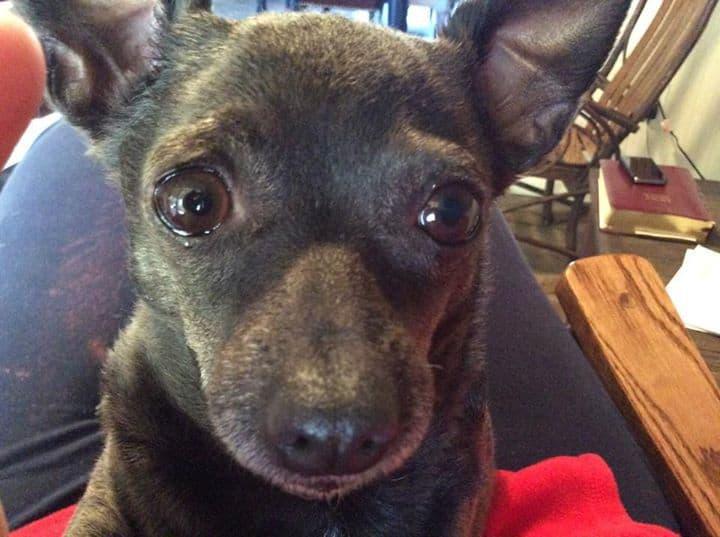 Sadie Girl the Chihuahua