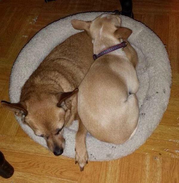 Choppy and Sir the Chihuahuas