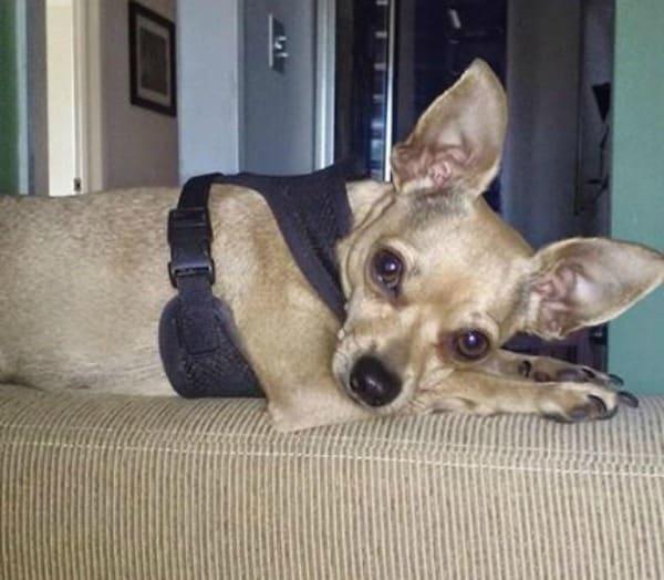 Desi the Chihuahua