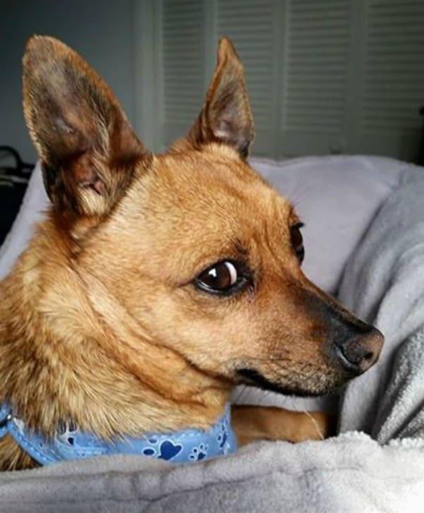 Kris the Chihuahua