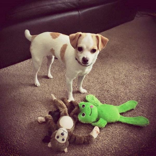 Sweet Dee the Chihuahua