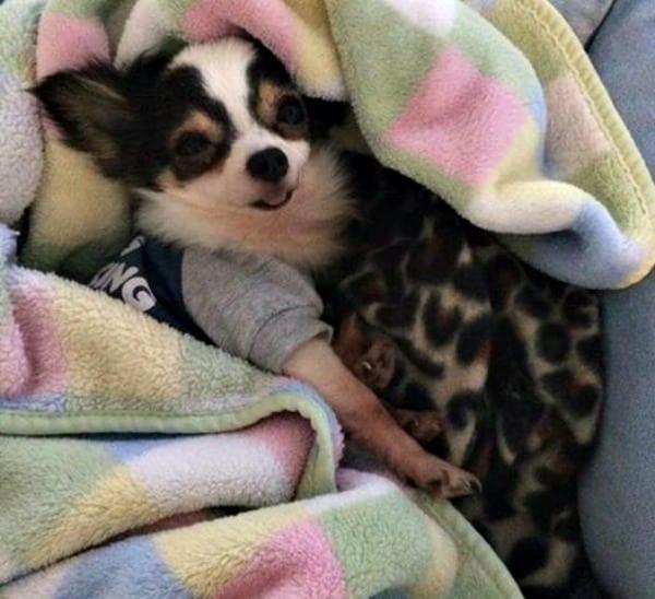 Bit Bit the Chihuahua