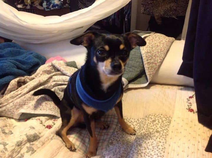 Freddie the Chihuahua