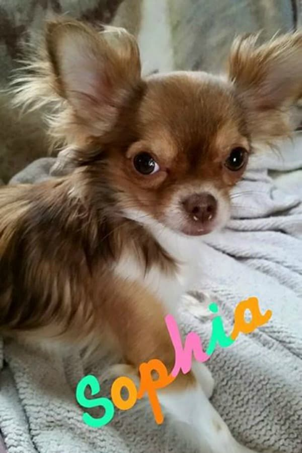 Sophia the Chihuahua