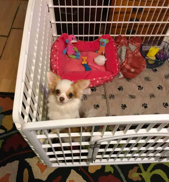 chihuahua puppy in playpen