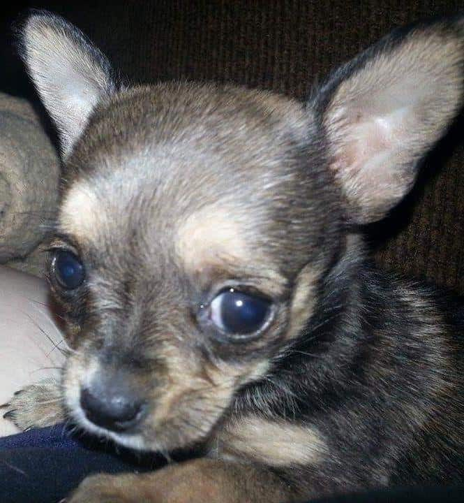 Rosie the Chihuahua puppy