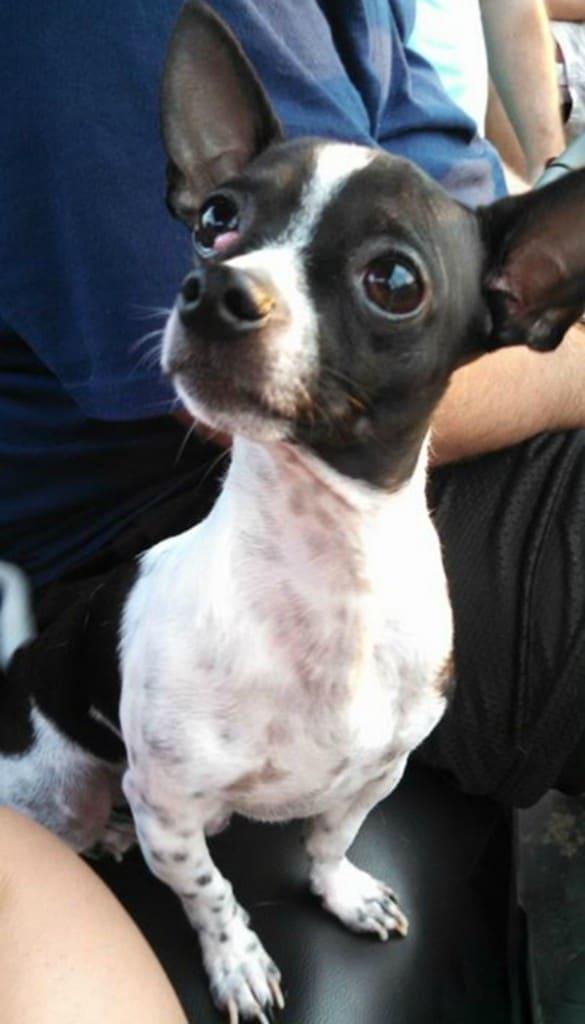 Darrell the Chihuahua