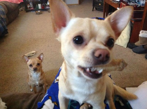 Dobby and Buddy the Chihuahuas