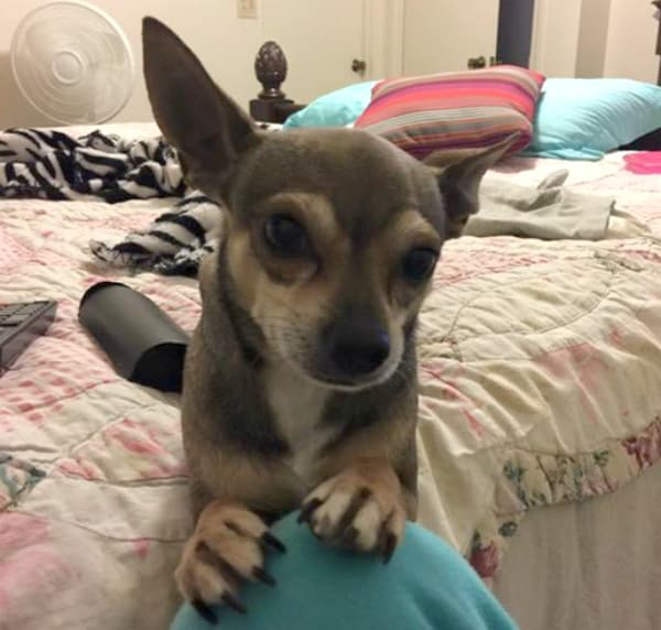 Scrappy the Chihuahua