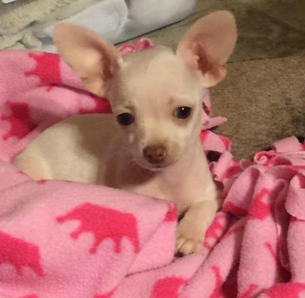 Chloe the Chihuahua