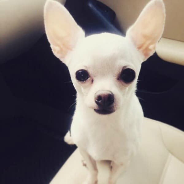 Winston the Chihuahua
