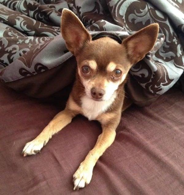 Cocoa the Chihuahua