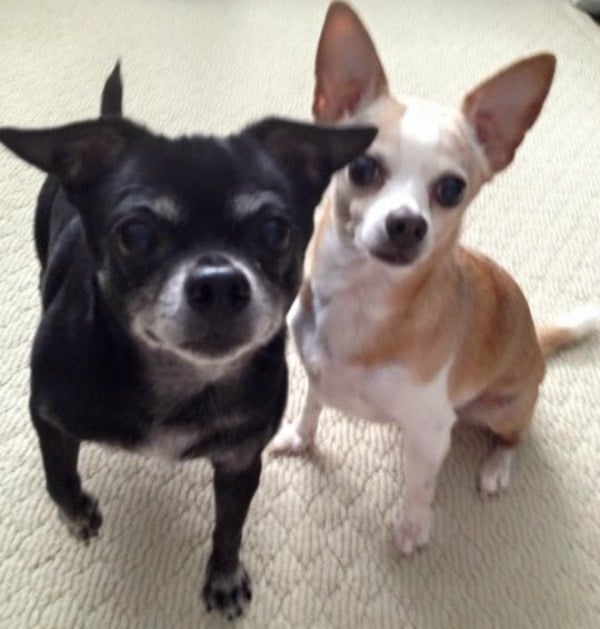 Chili and Gordy the Chihuahuas